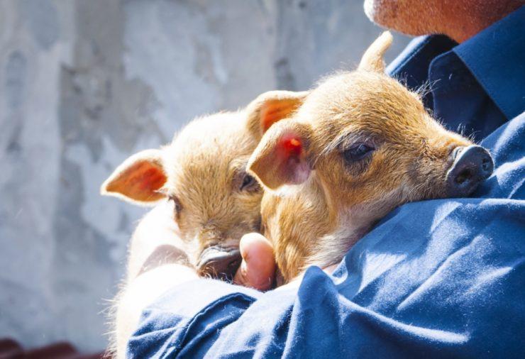 Sanctuary Piglets